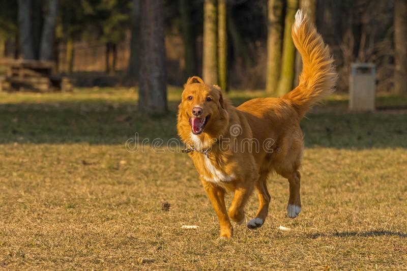 Dog runs. In the park stock image