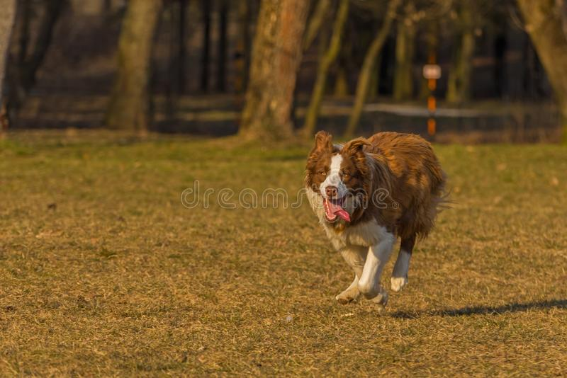 Dog runs. In the park royalty free stock images