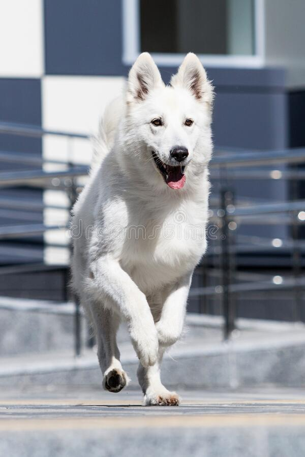 dog runs fast royalty free stock photos