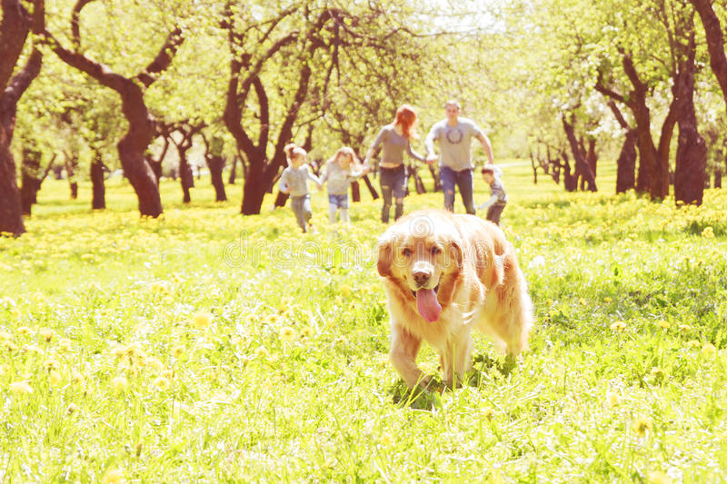 Dog runs on a green alley. And a happy family in the background stock images