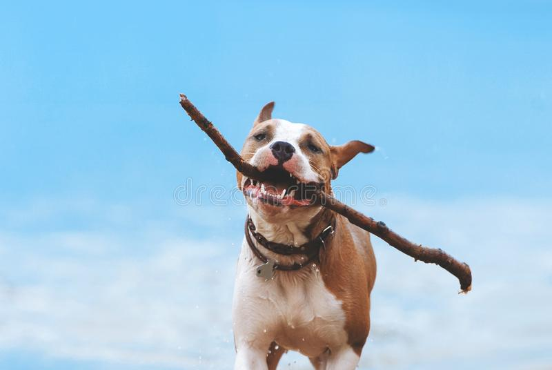 Dog runs with a huge stick in his teeth. A young dog of the breed American Staffordshire Terrier runs with a huge stick in his teeth stock image
