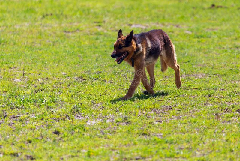 The dog runs in nature.  royalty free stock photo