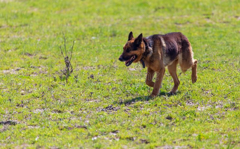 The dog runs in nature.  royalty free stock photography