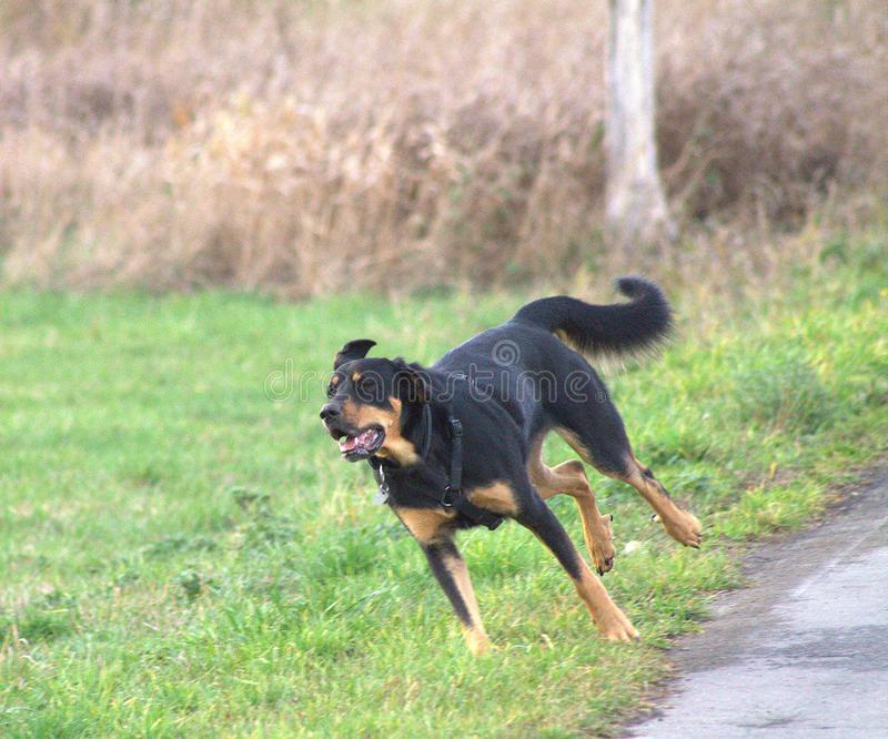 The dog runs in the park. Cheerful dog jumping on the grass stock images