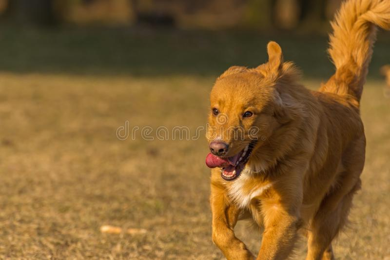 Dog runs. In the park royalty free stock image