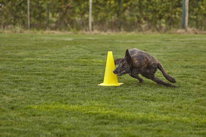 Dog runs during a dog show.  stock image