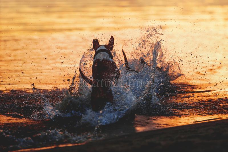 The dog runs into the water. A dog raises a large splash in the water against a sunset background. Happy puppy stock images