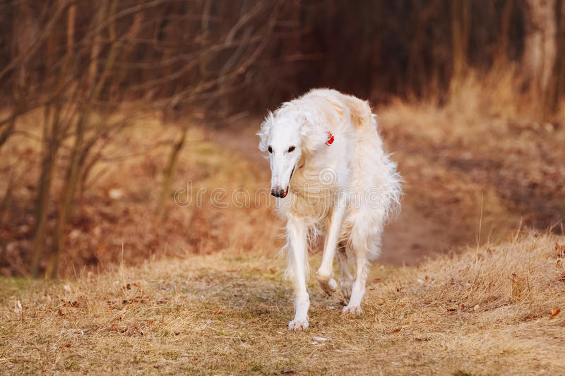 Dog Russian Borzoi Wolfhound Head , Outdoors stock images