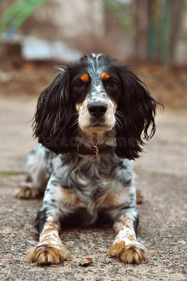 The dog russian spaniel royalty free stock photography