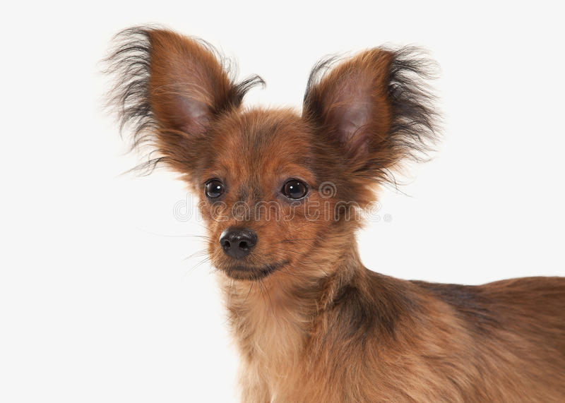 Dog. Russian toy terrier puppy on white background. Russian toy terrier puppy on white background royalty free stock photos