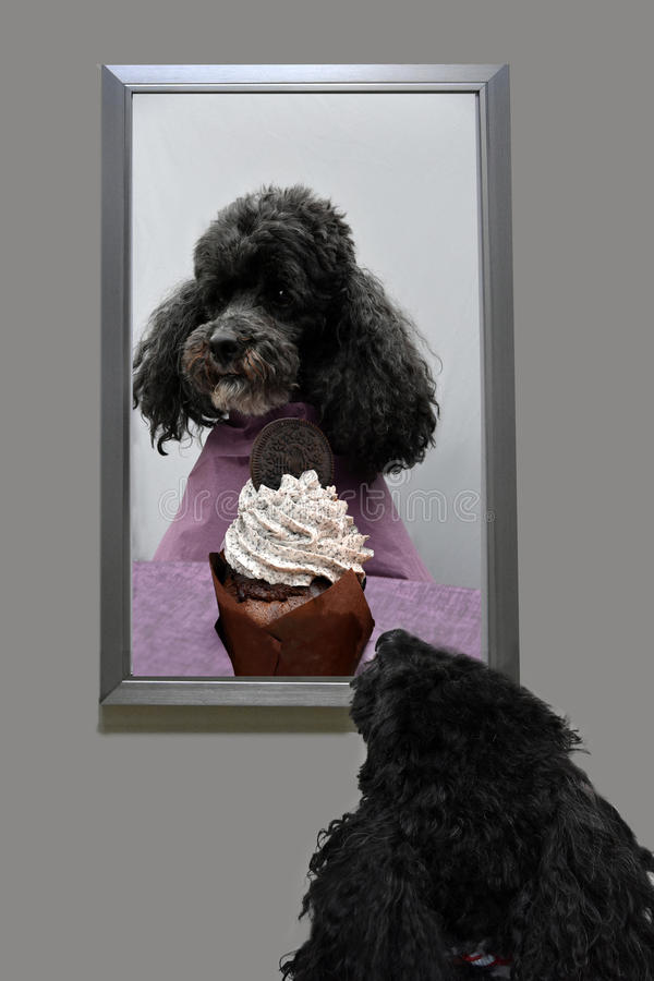 Dog's dream. Toy poodle dreams to sit at the table like humans an eat cake