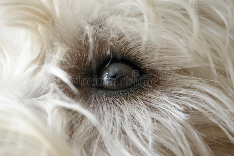 Dog's eye royalty free stock photo