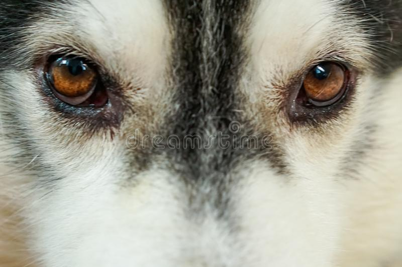 The dog`s eye area, Siberia. It has brown eyes and black and white fur royalty free stock images
