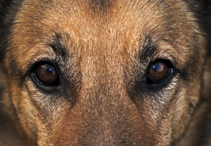 Download Dog's eyes stock image. Image of animal, shepherd, eyes - 12693879