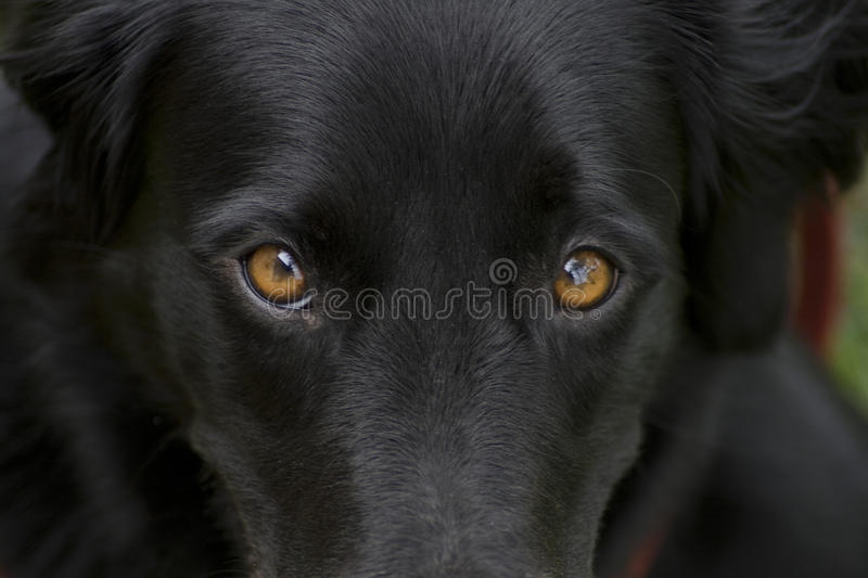 Close up of black dog's eyes, wallpaper. Intense look of a dog. This beautiful black dog is a half-breed that resembles a Flat Coated Retriever. Her name is royalty free stock photo