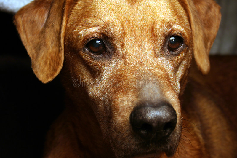 Download Dog's face stock photo. Image of eyes, nose, labrador, brown - 535250
