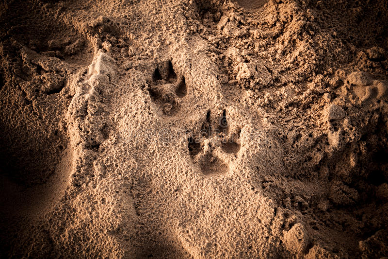 Dog's foot prints in sand royalty free stock photography
