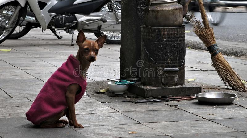 A Dog`s Life in Ha Noi. Ha Noi, Hanoi, Dog, Street, Animal, Travel, Culture, Adventure, Pet, Vietnam royalty free stock images