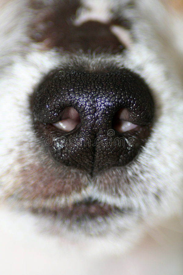 Download Dog's Nose stock photo. Image of fragrance, carnivore - 5568176