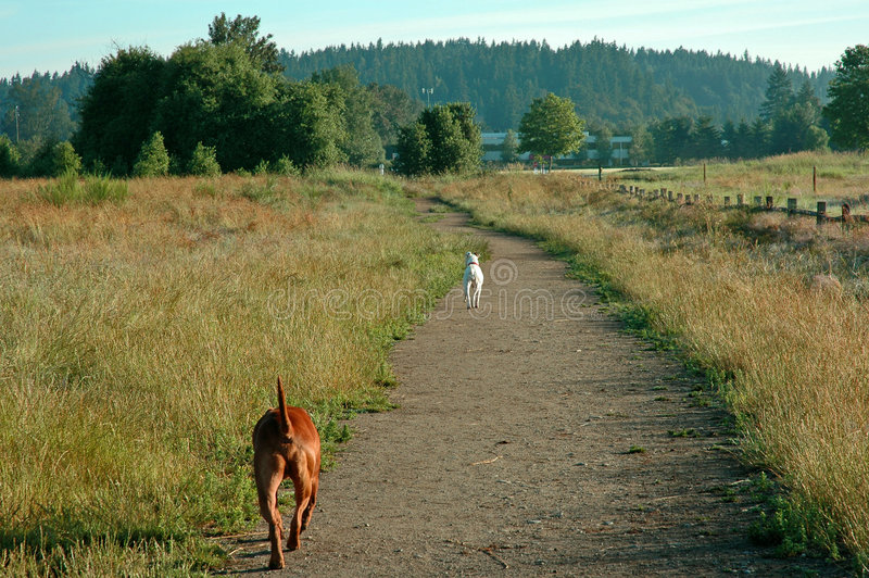 Dog's on the Run. Two dogs running at the dog Marymoor dog park in Redmond, WA royalty free stock photos