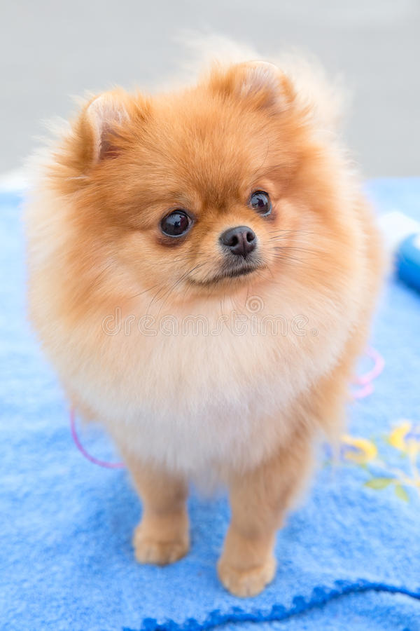 Dog sable German Toy Pomeranian breed stock photo