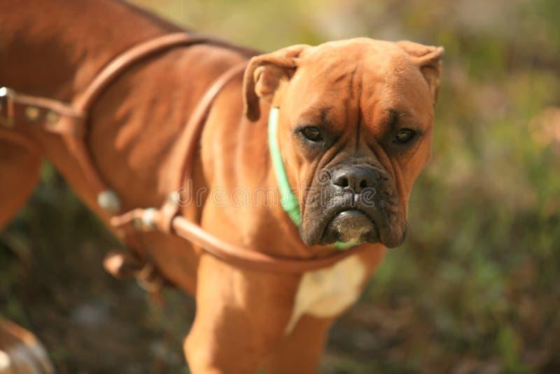 Download Dog with sad eye stock image. Image of furry, light, beautiful - 11242397