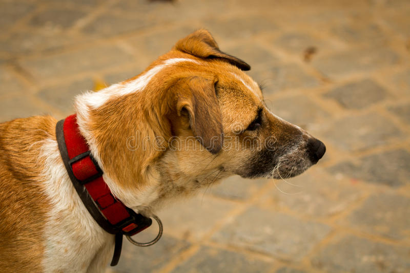 Dog. Sad dog, with one ear slightly clapped in stock images