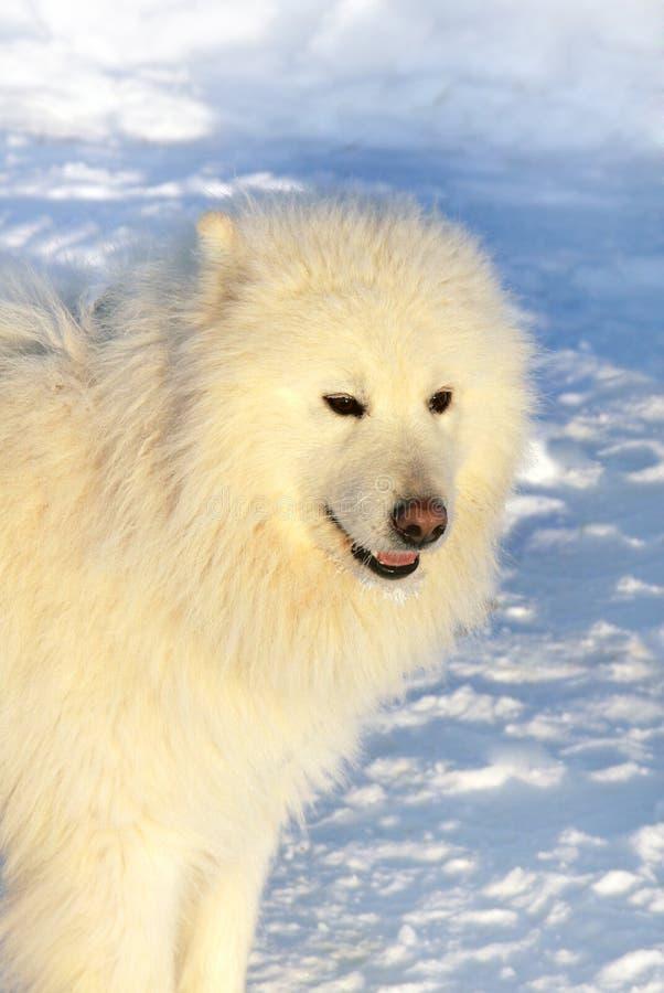 Dog Samoyed on snow stock photos