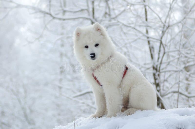 Dog Samoyeden Royaltyfria Foton