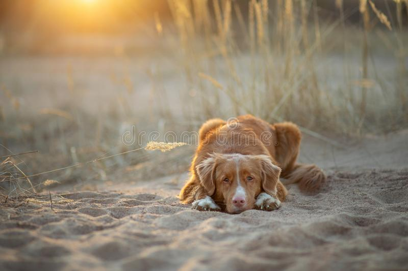 Dog on the sand sunset. Nova Scotia Duck Tolling Retriever in nature. pet travel. Toller dog on the sand sunset. Nova Scotia Duck Tolling Retriever in nature stock photography