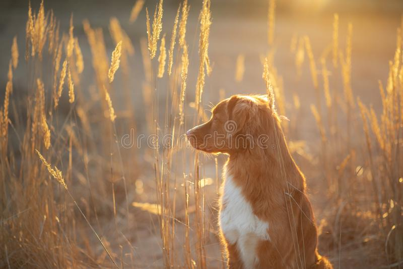 Dog on the sand sunset. Nova Scotia Duck Tolling Retriever in nature. pet travel. Toller dog on the sand sunset. Nova Scotia Duck Tolling Retriever in nature stock image