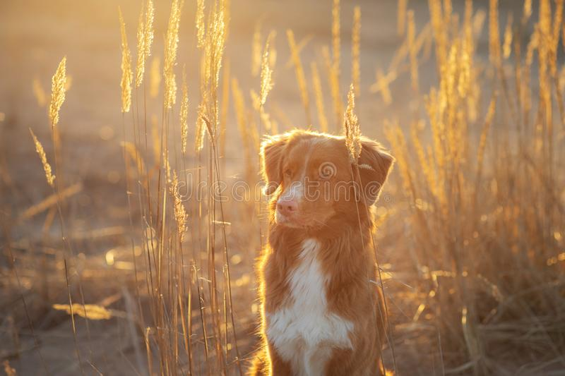 Dog on the sand sunset. Nova Scotia Duck Tolling Retriever in nature. pet travel. Toller dog on the sand sunset. Nova Scotia Duck Tolling Retriever in nature royalty free stock photography