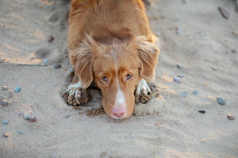 Dog on the sand sunset. Nova Scotia Duck Tolling Retriever in nature. pet travel. Toller dog on the sand sunset. Nova Scotia Duck Tolling Retriever in nature royalty free stock images