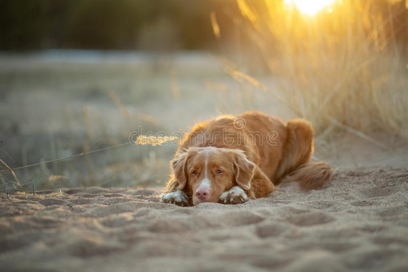 Dog on the sand sunset. Nova Scotia Duck Tolling Retriever in nature. pet travel. Toller dog on the sand sunset. Nova Scotia Duck Tolling Retriever in nature royalty free stock photo
