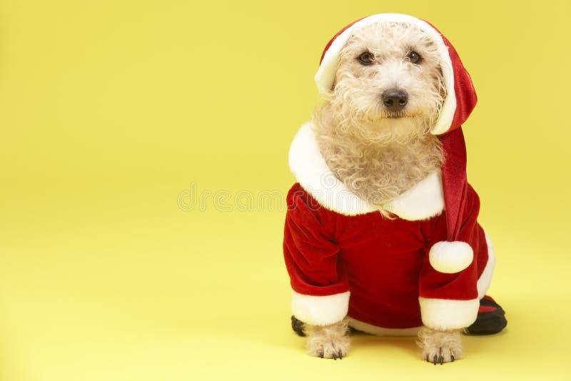 Dog In Santa Costume. Studio Portrait Of Dog In Santa Costume stock images