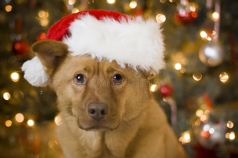Download Dog with Santa hat stock photo. Image of portrait, looking - 16932818
