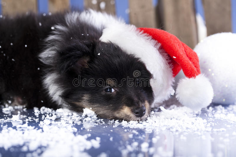 dog in Santa hat royalty free stock images