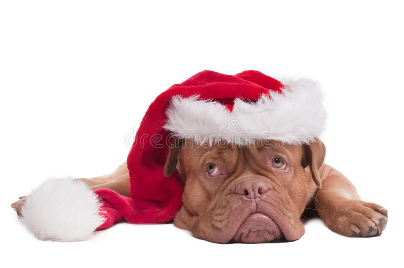 Dog with Santa's hat stock photo