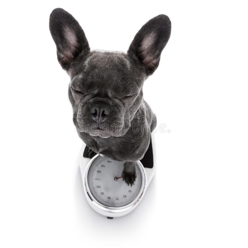 Dog on scale , with overweight stock image