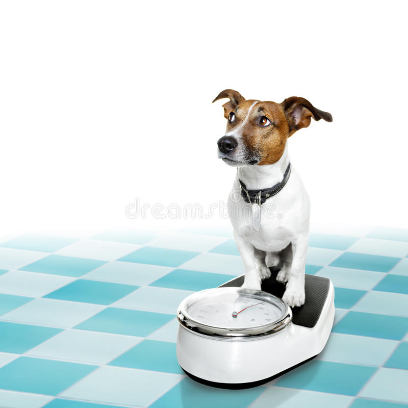 Dog on scale , with overweight and guilt. Jack russell dog with guilty conscience for overweight, and to loose weight , standing on a scale, isolated in bathroom royalty free stock photography