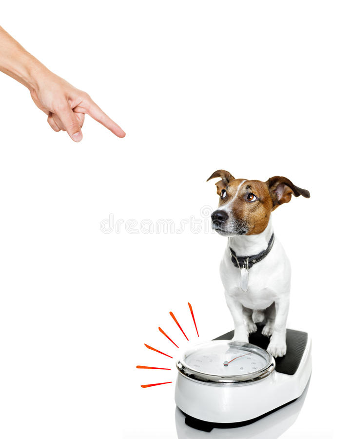 Dog on scale , with overweight. Owner punishing dog with guilty conscience pointing with finger for overweight, and to loose weight , standing on a scale royalty free stock photos