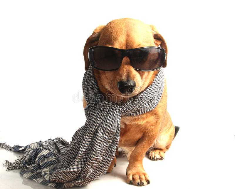 Download Dog and scarf stock image. Image of cold, scarf, indoor - 28341245