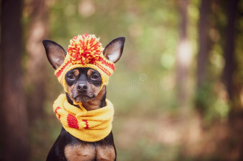 Dog in a scarf and hat in an autumn park. Theme of autumn. Funny. Puppy of the toy-terrier stock images