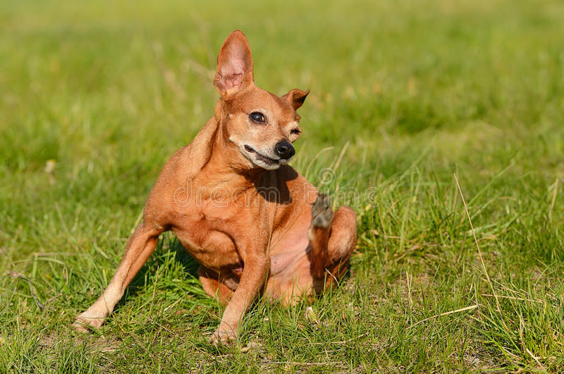 Dog scratching in the field royalty free stock photography