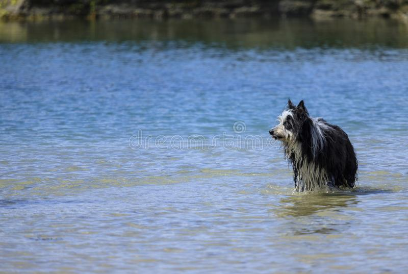Dog in the sea near the beach stock images