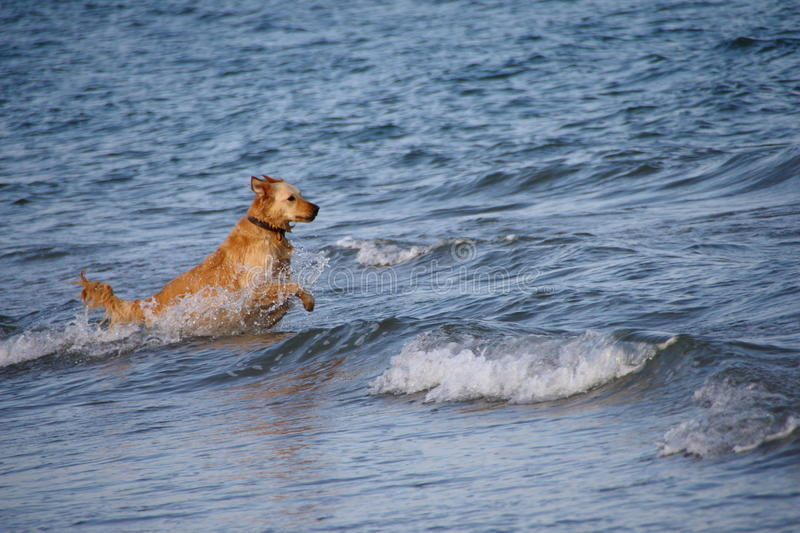 The dog into the sea royalty free stock image
