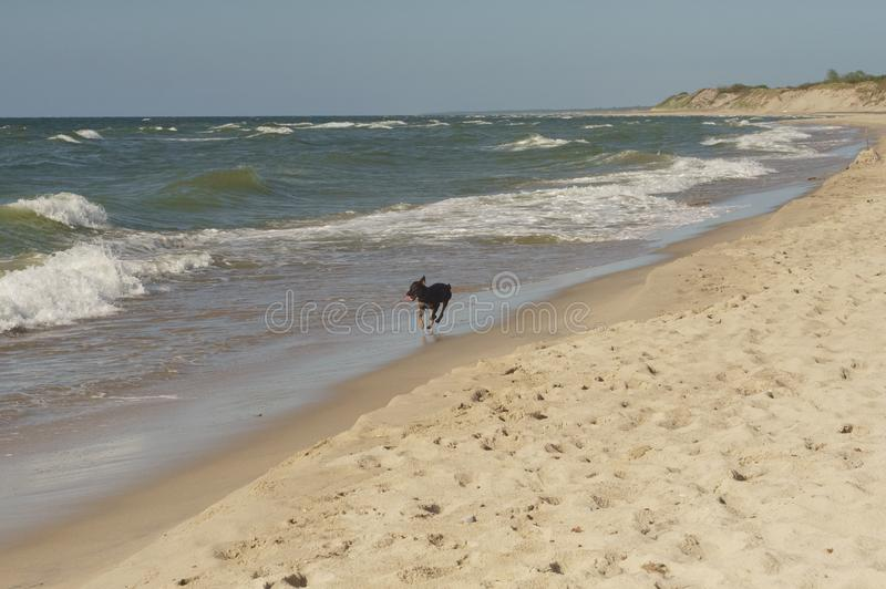 Dog of the sea. A storm begins, along the beach, along the edge of the surf, a black dog runs, apparently in search of a host royalty free stock photography