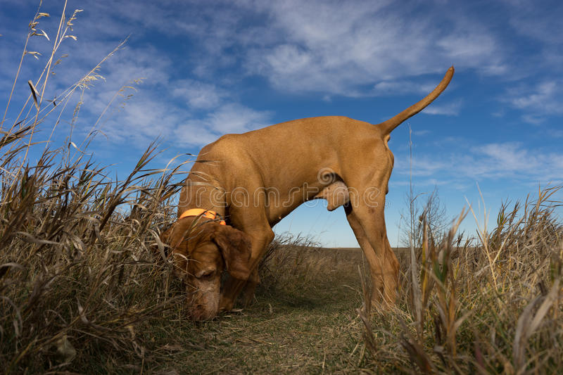 Dog searching outdoors. Male dog sniffing the ground outdoors in the grass stock image