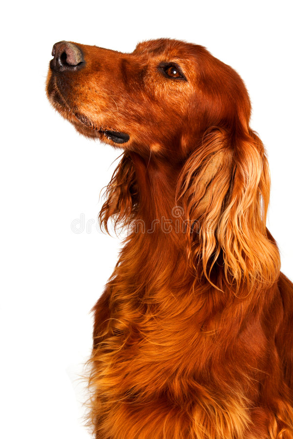 Free Dog - Setter Royalty Free Stock Photography - 1552437