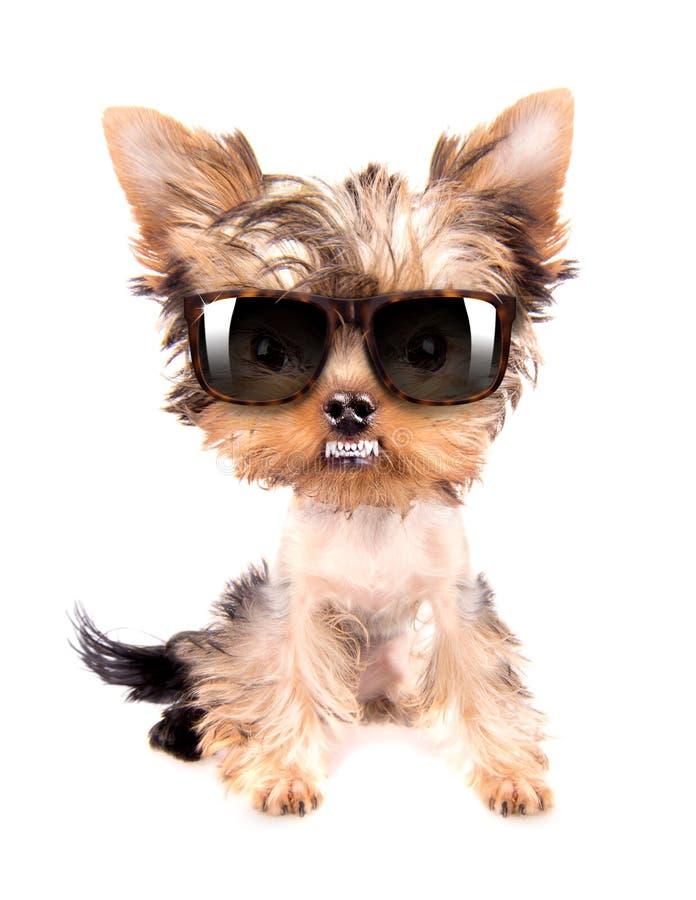 Dog with shades royalty free stock photos